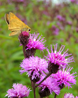 Butterfly Moth on Thistle